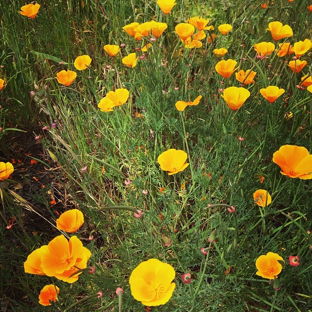 California Poppies.. #california #poppies #hiking #flowers